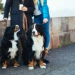Couple poses with pair of Bernese Mountain dogs. Adopting a dog is like dating, identify what you want but don't get too focused on appearance.