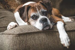 Old boxer rests on furniture and exhibits aging dog behaviors like losing mobility.