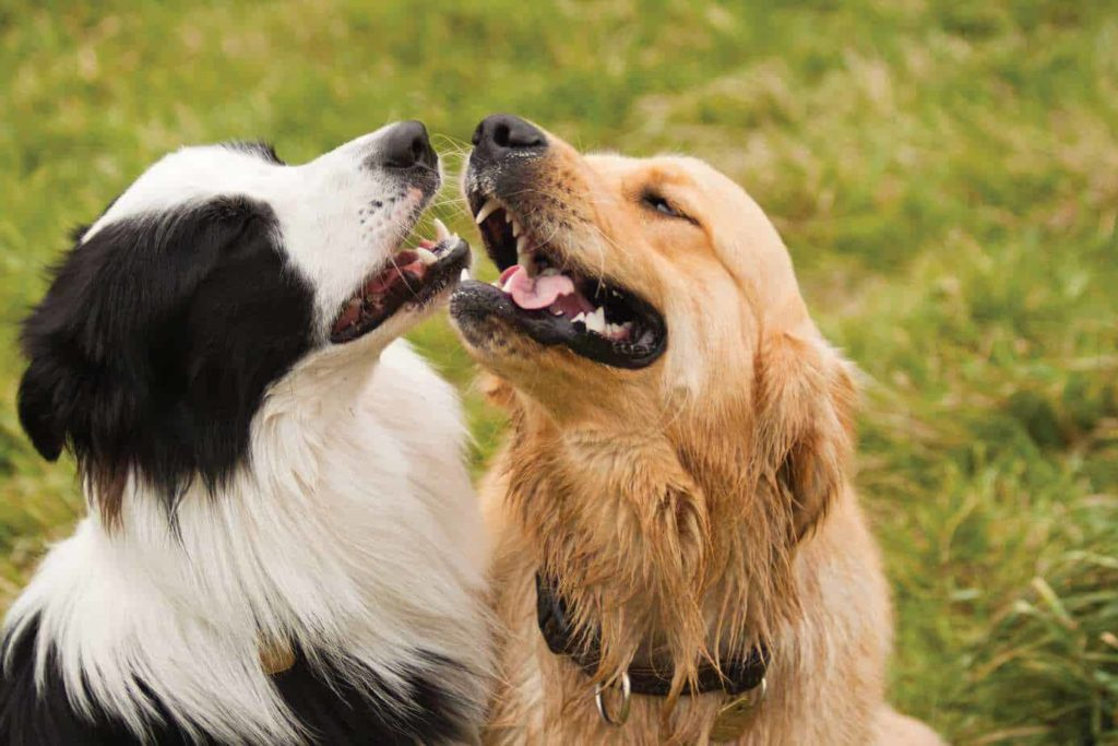 Border Collie plays with a Golden Retriever. The Golden Border Retriever is a Golden Retriever Border Collie mix.