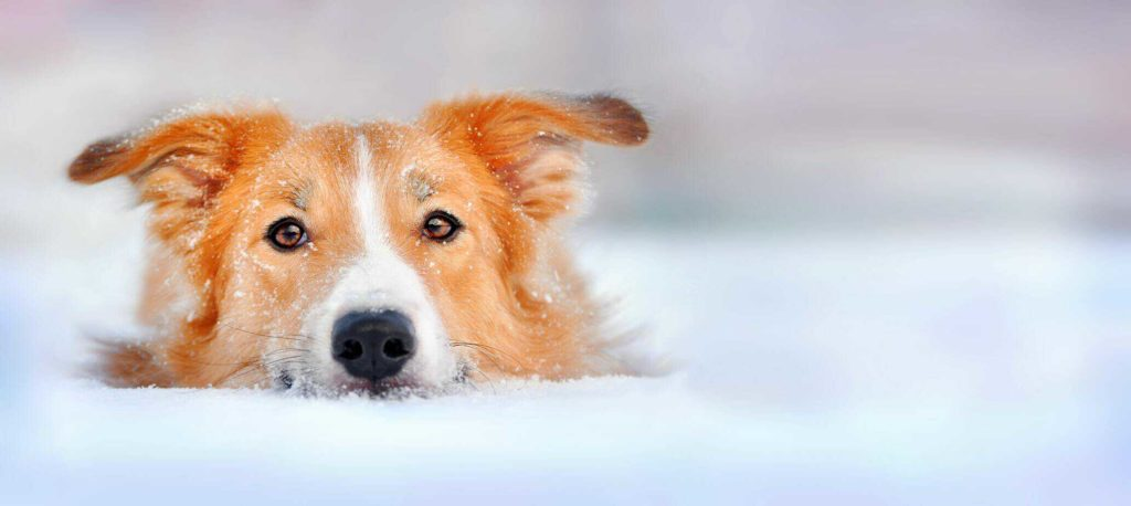 A Golden Retriever Border Collie mix enjoys being in snow.