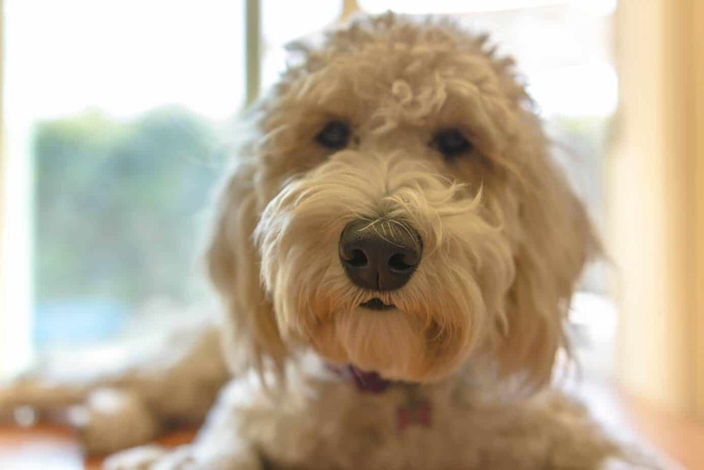 hypoallergenic dogs goldendoodle