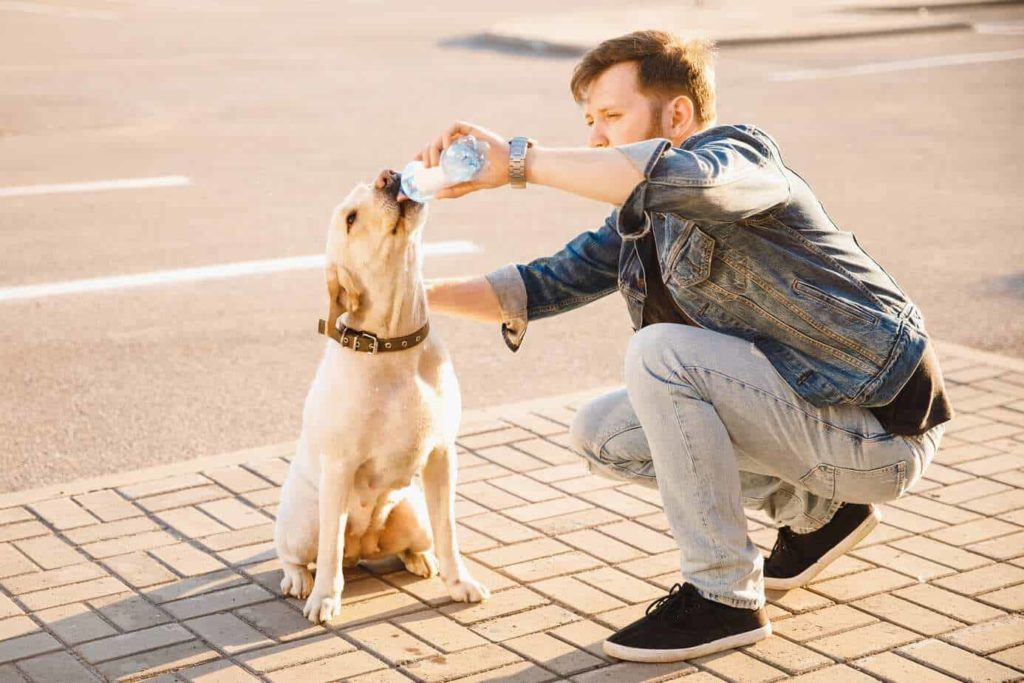 Man gives Labrador retriever water on a hot day. Climate change affects dog health by creating natural disasters, causing heatstroke and creating dangerous, disease-carrying bugs.