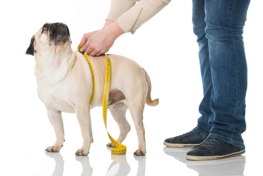 Pug patiently waits while owner checks chest measurement. Preventing excess weight gain can not only help prevent arthritis, but it can reduce symptoms of the disease should it develop.