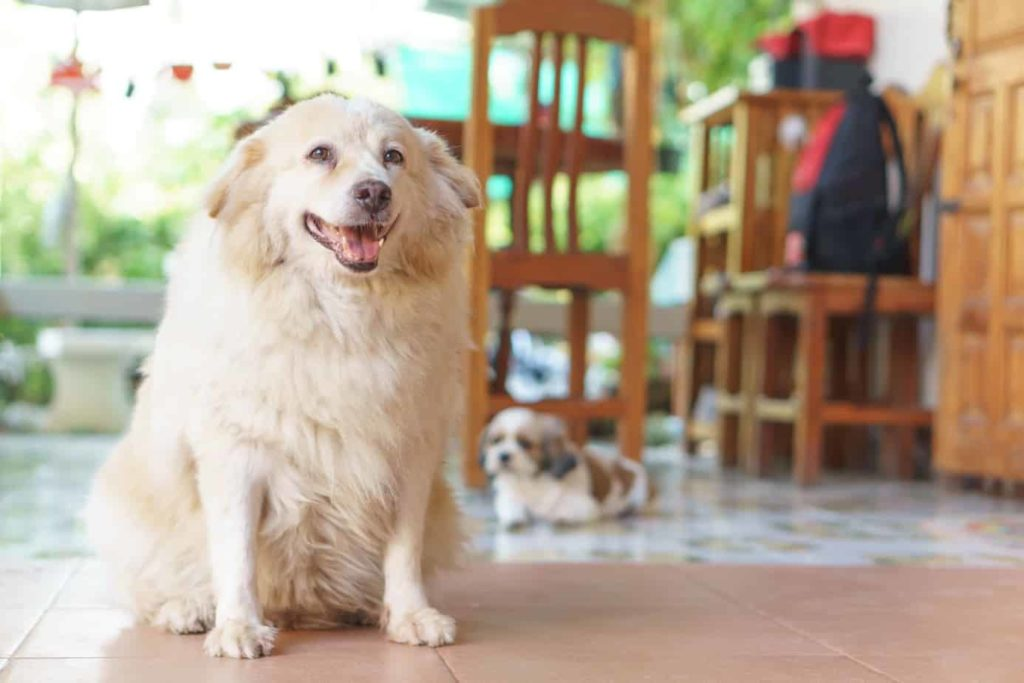 Overweight golden retriever is more likely to develop arthritis in dogs.