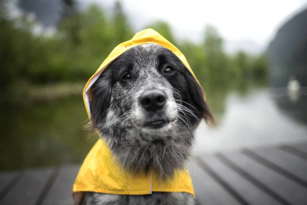 Dog in rain gear. Natural disasters like hurricanes and flooding put dogs' lives at risk.