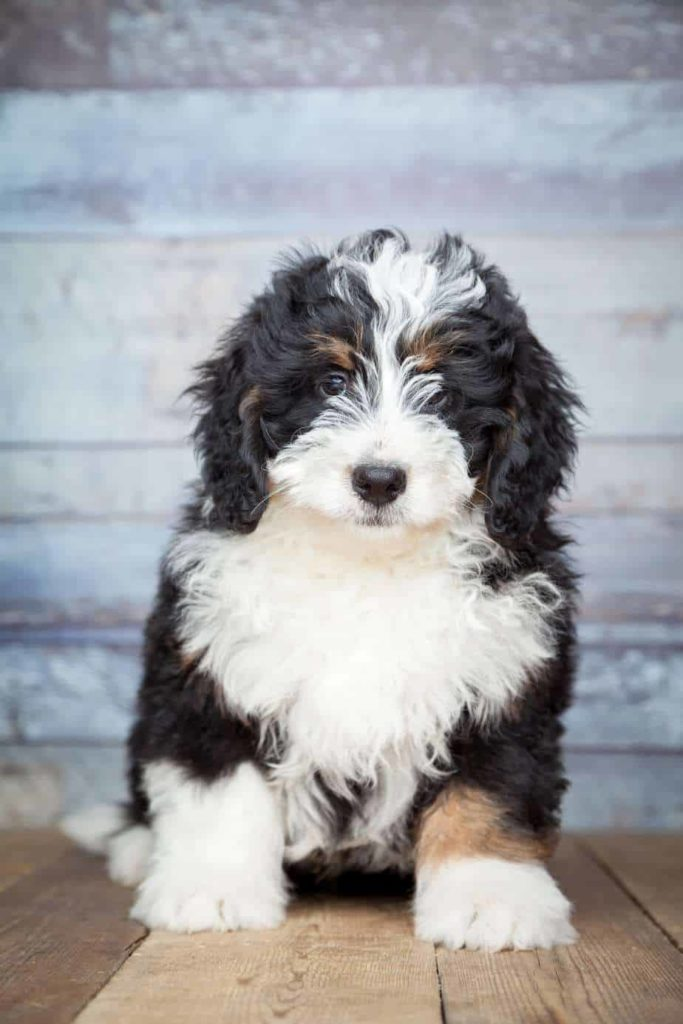 The Bernedoodle is a crossbreed of the poodle and the Bernese Mountain dog. Poodles are a popular crossbreeding choice.