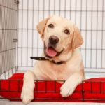 Labrador retriever rests in his crate. Crating dogs with separation anxiety helps calm them by giving them a safe space. Other tips: use sound, an olfactory rug or pheromones.