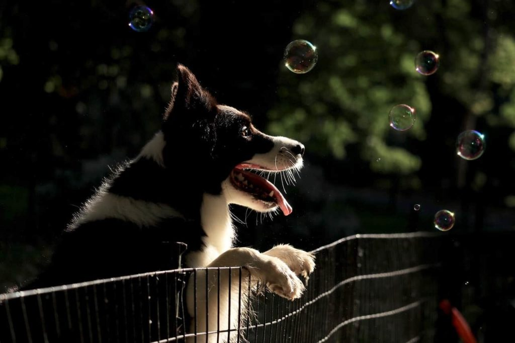 Border Collie leans on dog fence. Safety tips to protect your pet include using a fence or barrier.