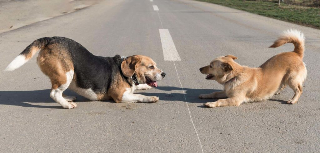Older beagle plays with younger dog. Ongoing socialization helps create a happier, healthier dog by reducing stress and anxiety and making the dog more confident.