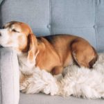 Beagle snoozes on couch. Use smart technology to pamper your dog.