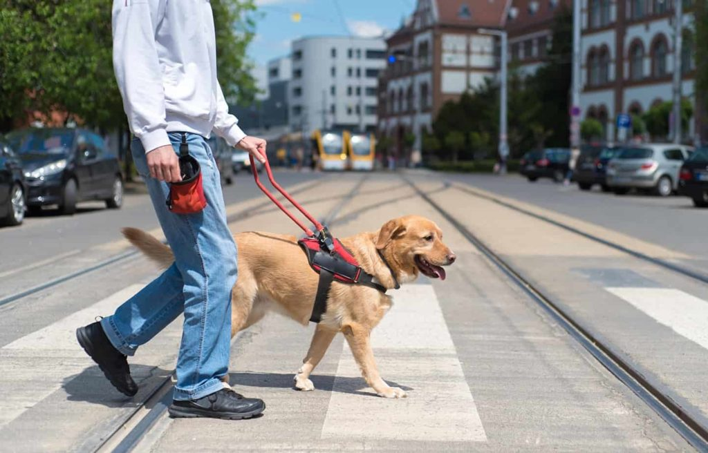Man walks with Labrador retriever. Service dog training requirements include training to pass obedience and public access tests.