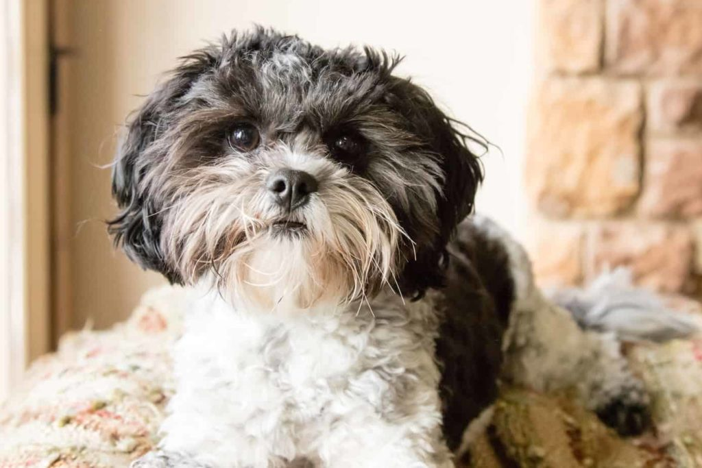 The Shi Tzu Poodle mix is a popular crossbreed. Poodles are a popular crossbreeding choice.