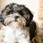 The Shi Tzu Poodle mix is a popular crossbreed.