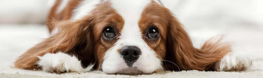 Sweet Cavalier King Charles Spaniel puppy looks at new owner. Consider your time and resources before getting a new companion. Dog ownership requires you to supply your dog with everything they might need.