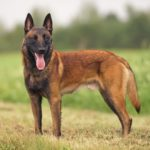A Belgian Malinois is a loyal, loving companion who needs training, and every opportunity to stay physically active and intellectually engaged.