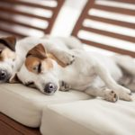 Jack Russell terriers snuggle on white couch. Invest in air purifiers to improve indoor air quality. Pets are notorious for worsening the indoor air of the homes they live in.