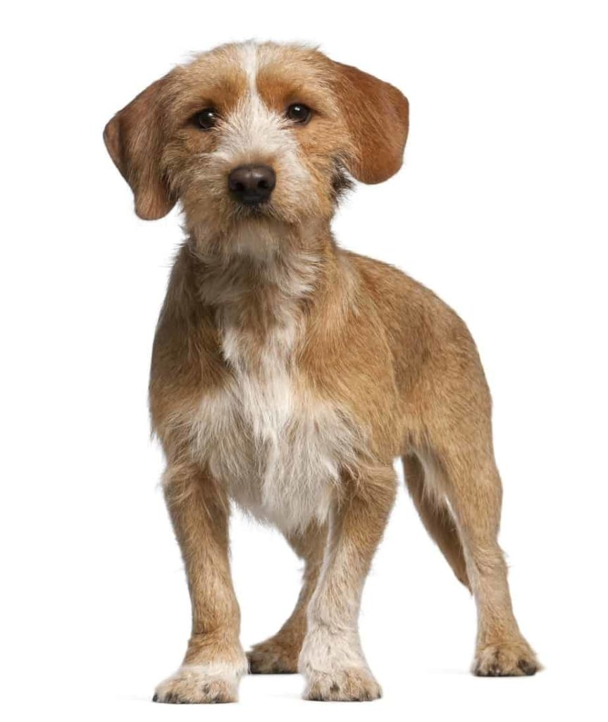 The Basset Fauve de Bretagne (aka BFB) is known for its vibrancy, playful nature and being non-aggressive.