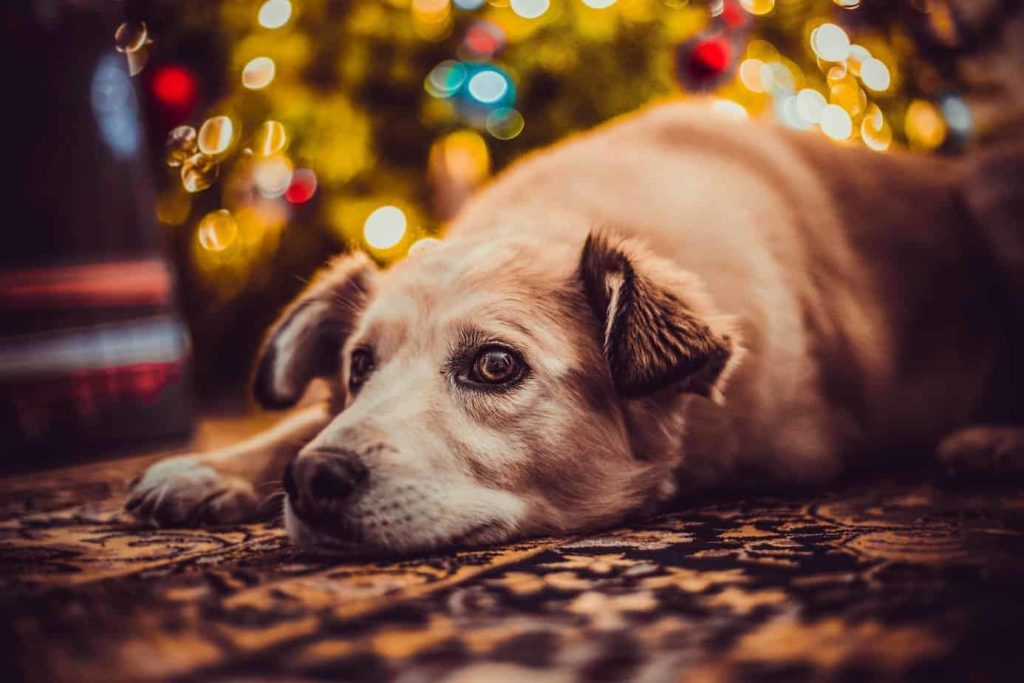 Golden retriever snoozes under Christmas tree. If your dog could talk, chances are he'd have quite a bit to say about the gift he'd prefer this year. Use our list of holiday gifts to find the right one.