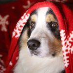 Australian Shepherd snuggles under a Christmas blanket. Show your dog how much you love him by giving him a healthy holiday season with these fun ideas! Give your dog plenty of exercise, avoid holiday dangers.