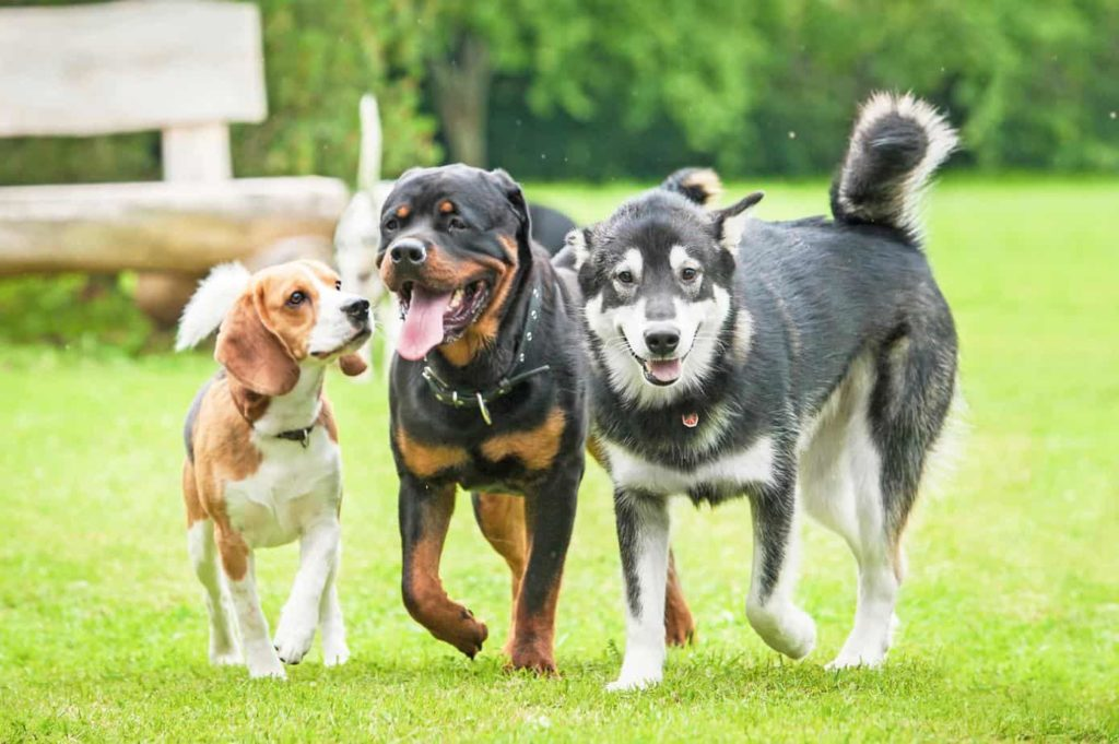 Dogs run and play. If your dog takes off, gets taken, or you lose sight of them, you can quickly locate them by using a GPS tracker.