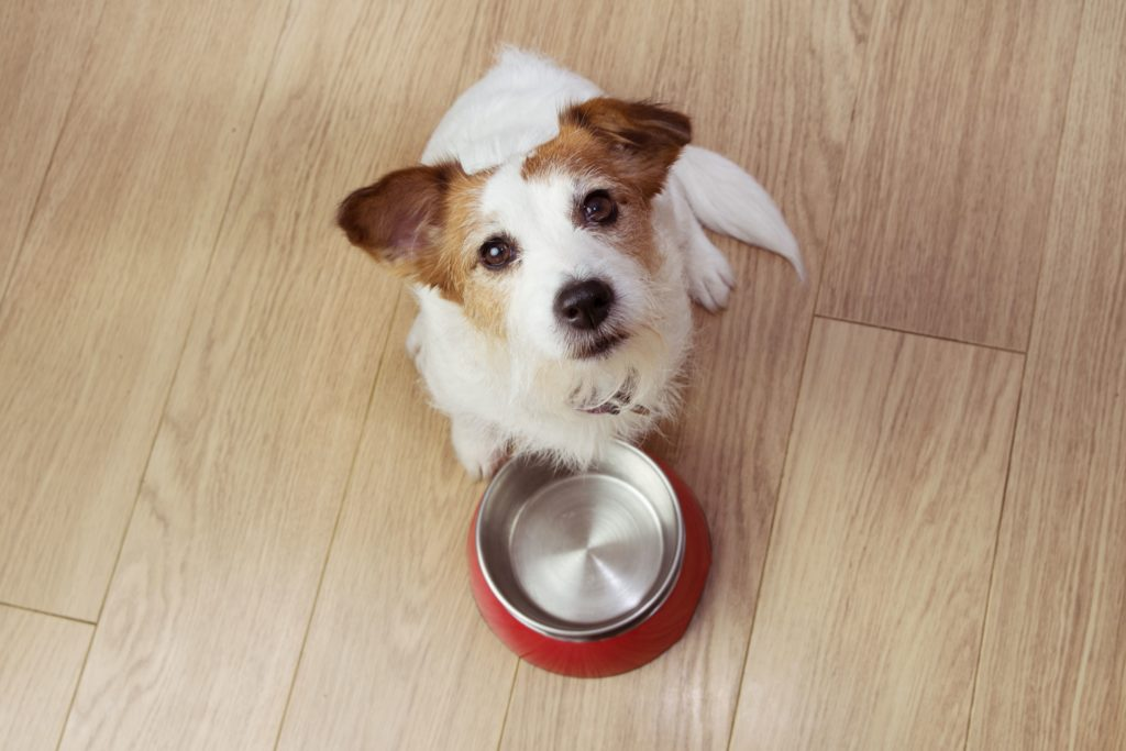 Jack Russell terrier sits with empty food bowl. To get the best supplements for dogs, do your research before making a purchase. Supplements to consider include glucosamine and antioxidants.