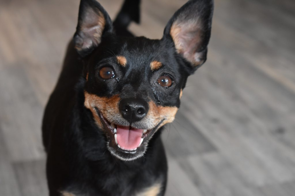 Happy Miniature Pinscher