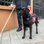 Black Labrador service dog assists blind man. While registering your service dog is not required, having a registered service dog it does make traveling easier.
