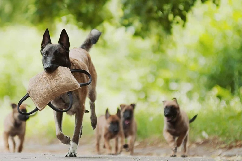 Mother Belgian Malinois with puppies.
