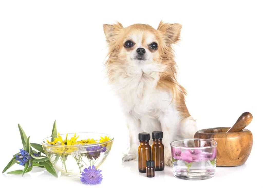 Chihuahua sits with dog-safe essential oils.