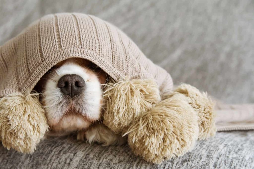 Cavalier King Charles Spaniel hides under a blanket. Most people know they'll need to provide food and vet care for their new dog, but what about the hidden costs of pet ownership?