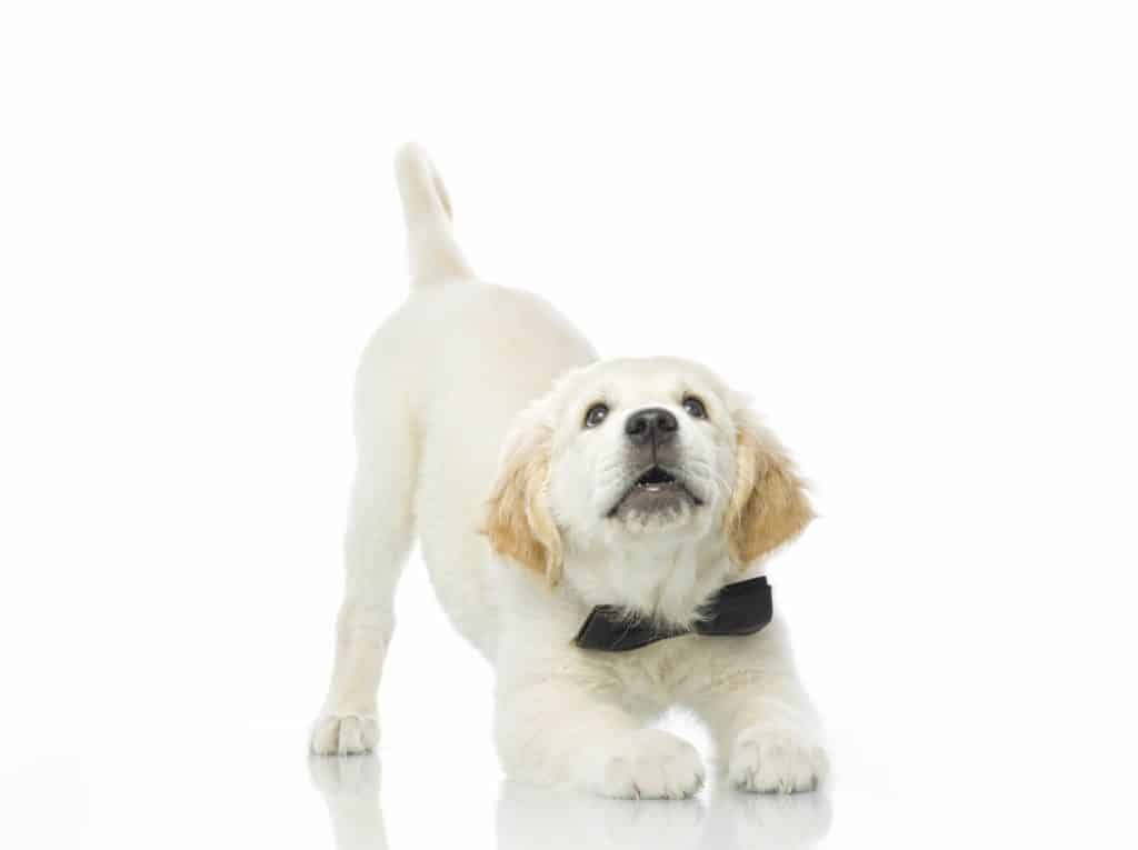 Playful golden retriever puppy stretches. Stretching can help alleviate the pain of dog muscle spasms.