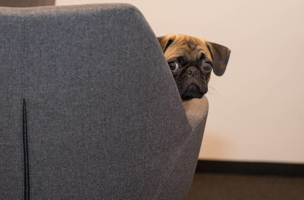 Nervous pug sits in an office chair. If you take your dog to work, you can create a more enjoyable work environment, and your dog will benefit from being able to spend more time with you.