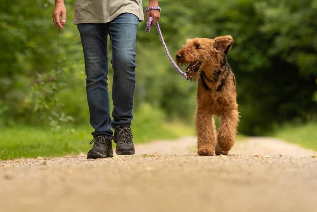 Man walks an airedale terrier. Leash train an older dog using patience and plenty of treats.
