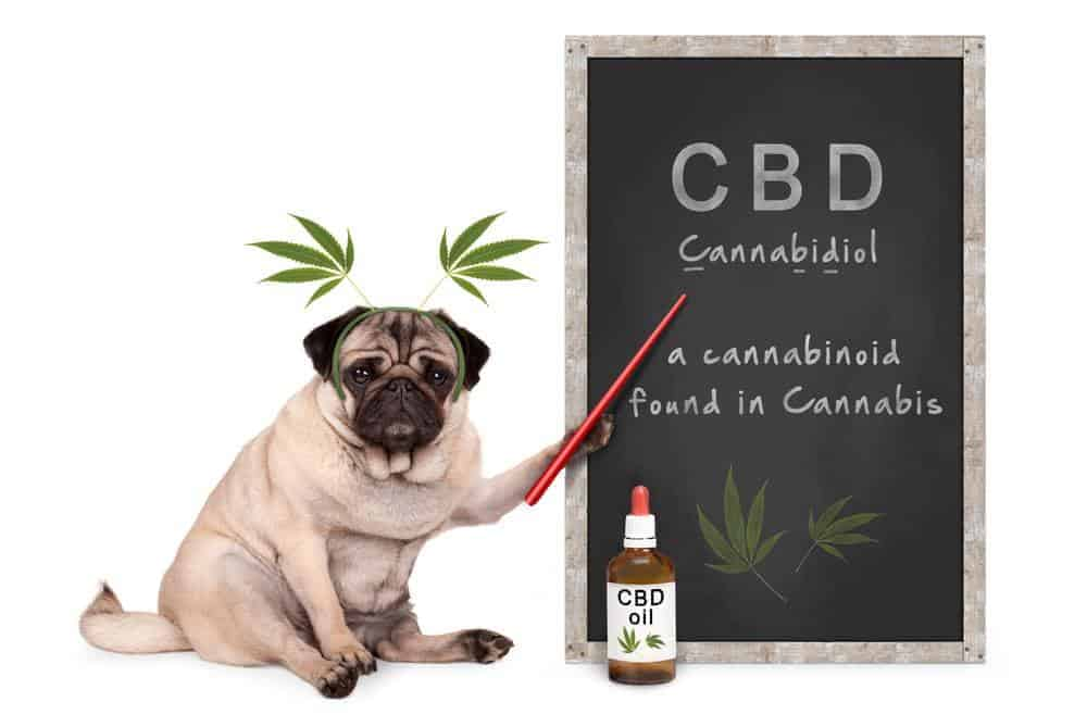Illustration of pug with CBD oil for dogs. CBD oil for dogs can help them relax because it has a calming effect, which can make your dog more sociable.