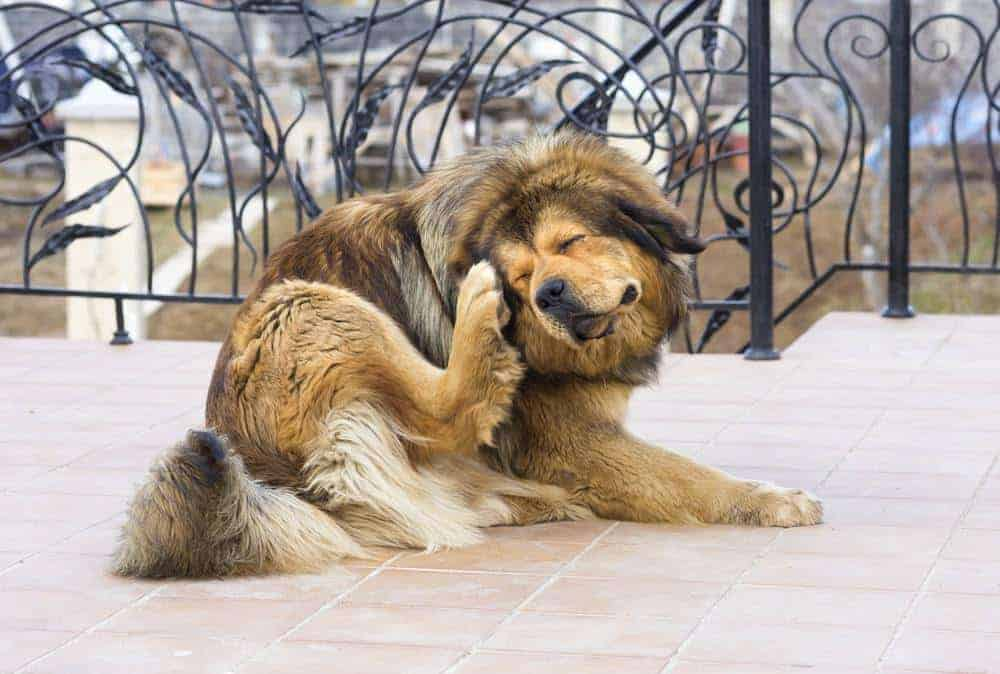 Tibetan mastiff scratches from dog allergies. Your furry friend also can become hypersensitive to the things around them. Leaving dog allergies untreated can lead to pain and discomfort.