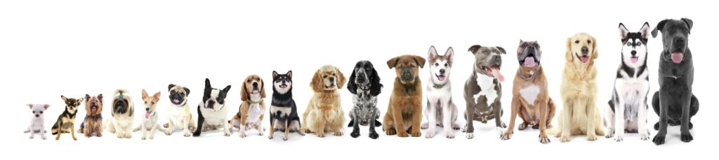 Dog breed size illustration from smallest - Chihuahua to largest - Great Dane