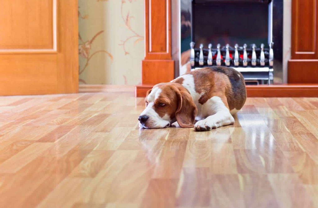 Beagle snoozes on slick floor. Dog slipping can cause pain and sometimes serious injuries that may require veterinary attention. Take steps to keep your dog safe.