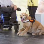 Labrador retriever works as a service dog in the workplace.
