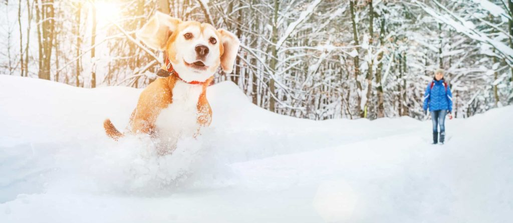 Happy beagle runs in snow. Don't hibernate! From walks and baking treats to creating puppy art. Discover 10 winter dog fun activities you can do with your dog.