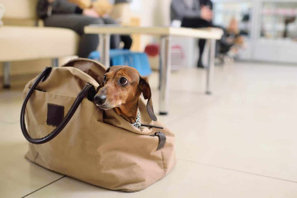A dachshund is on the best list of travel dogs. The best dogs for travel have gentle dispositions, need little exercise, and enjoy being with people. For plane rides, small dogs are best.