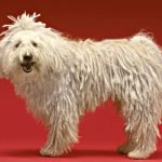 The Komondor or mop dog is known for its distinctive coat covered in rope-like curls. The coat requires daily brushing and regular bathing.