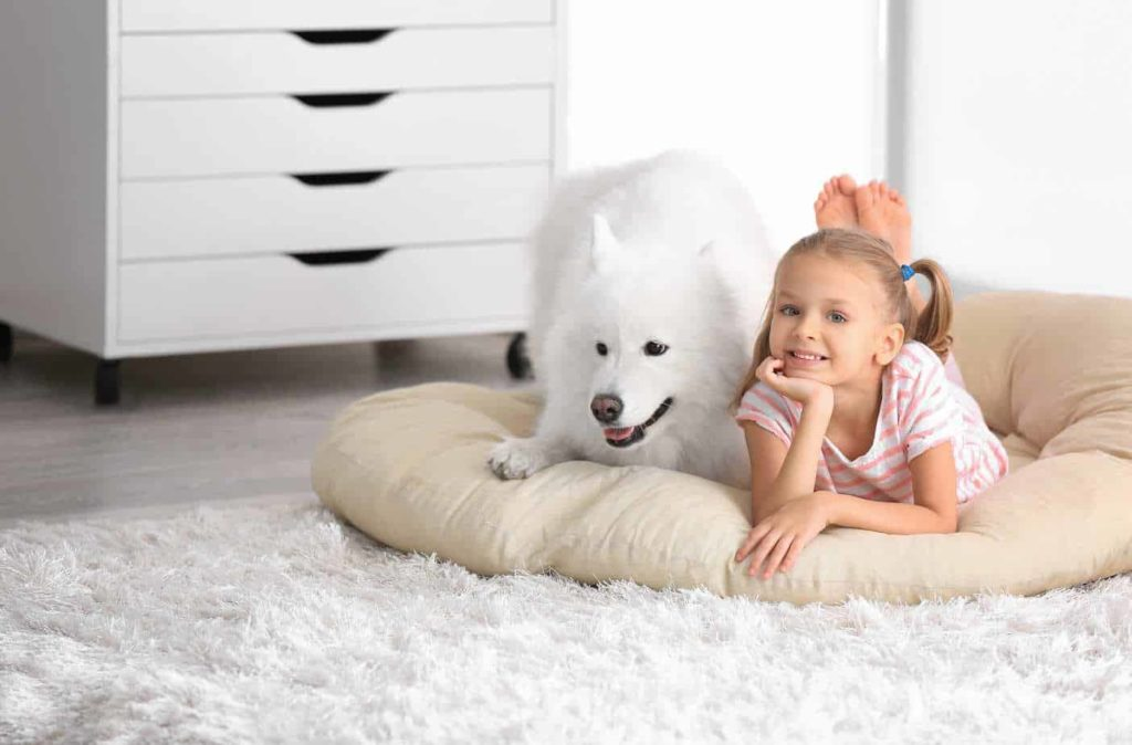 Girl poses with big fluffy Samoyed. Use tools like a FURminator when grooming to control dog fur in your home.