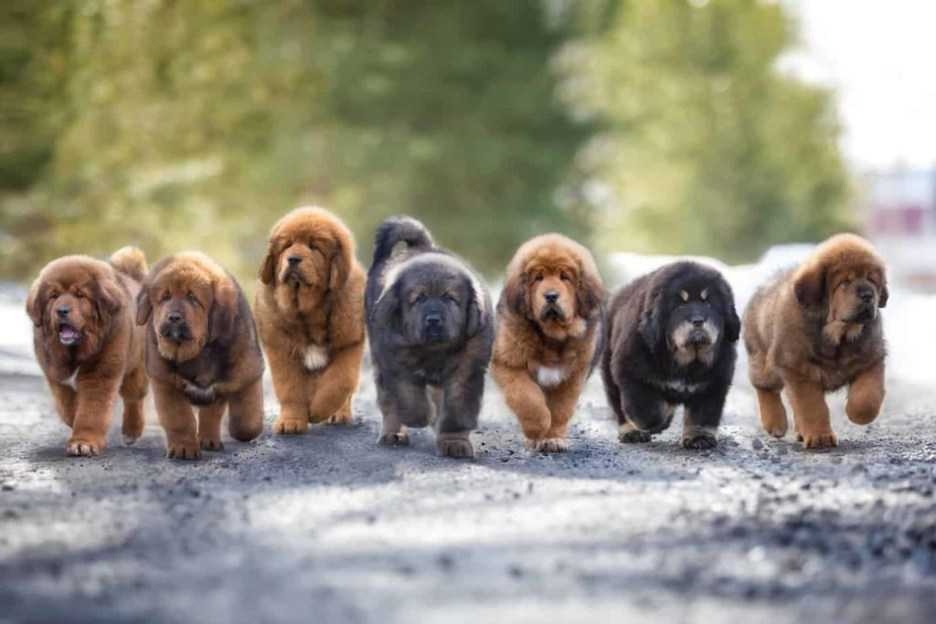 Tibetan mastiff puppies run down a road