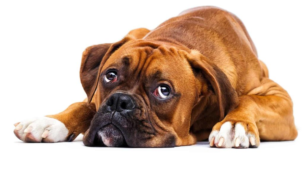 Sad boxer suffers from diarrhea. Use home remedies like boiled potatoes or rice to treat diarrhea, vomiting.