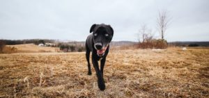 Black country dog. Three things to consider when you raise a dog in a rural area. If you want to have a country dog, choose the right breed, get a good fence.