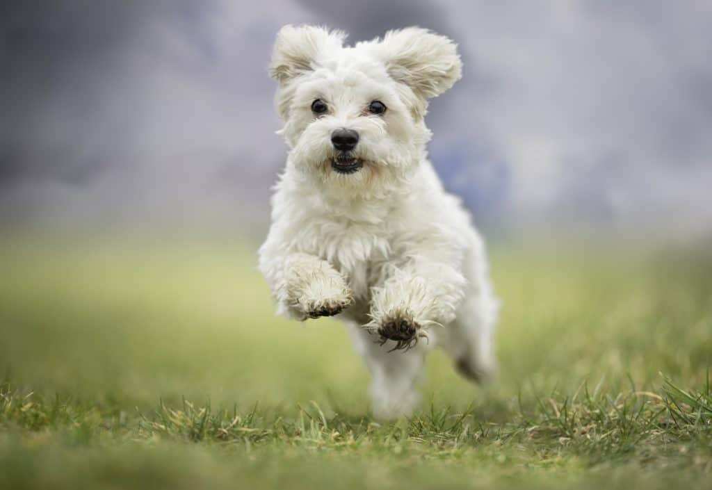 Happy Havanese dog running. Weight gain, second-hand smoke, too little exercise, and ignoring dental care are among the 10 dog health mistakes that can hurt your pup.