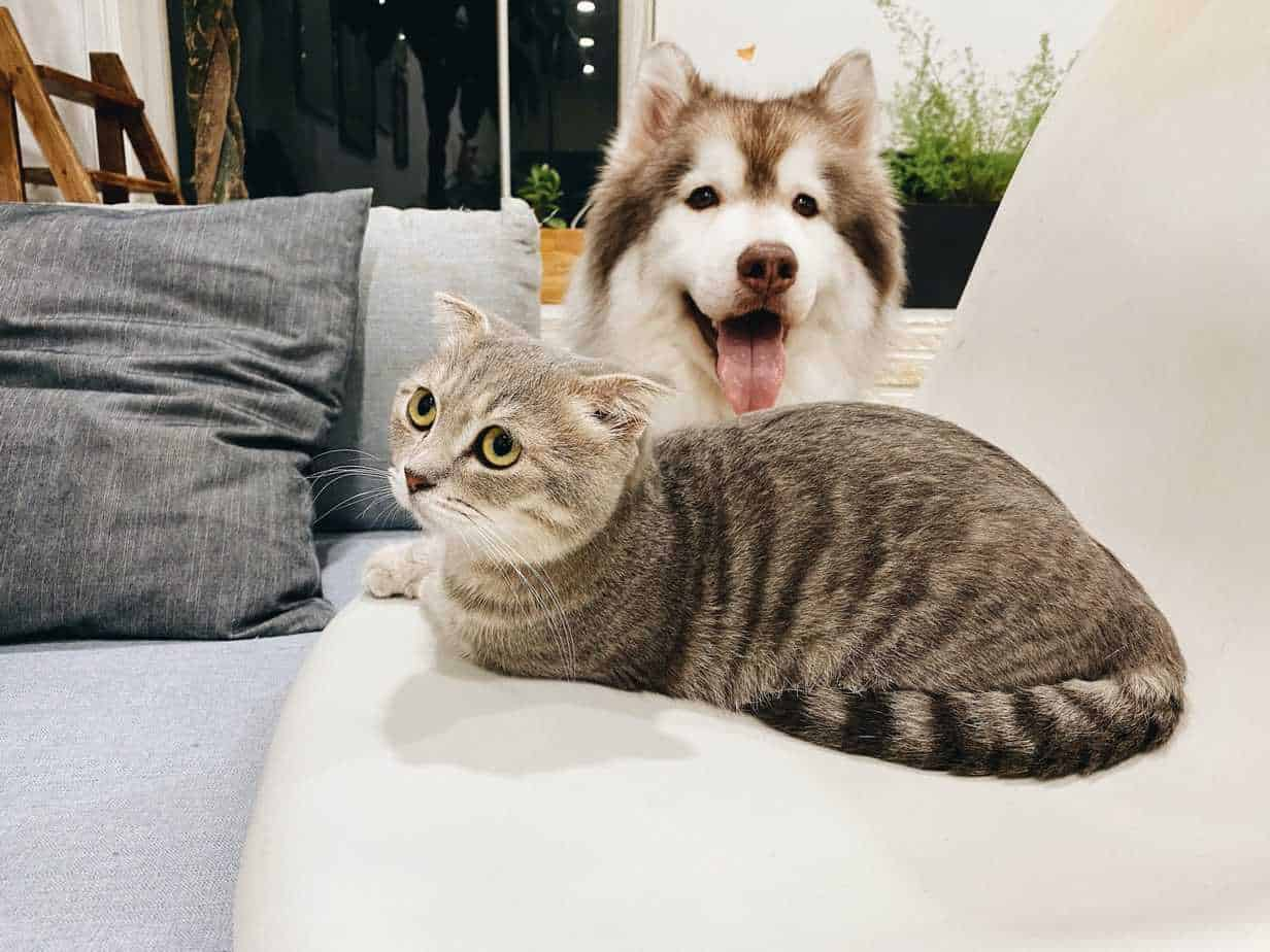 Happy Husky poses with wary cat. Introduce your dog to a cat: Find a cat whose personality will mesh with your dog's.