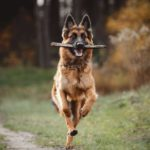 Happy German Shepherd runs while holding a stick in his mouth. Giving your dog a joint supplement can decrease inflammation, improve flexibility, strengthen the cartilage and joints, and provide natural pain relief as needed.