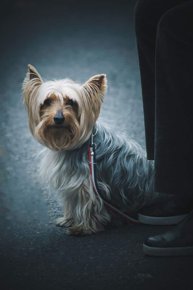 The Norwich terrier is a small dog that's ideal to take along on long trips.