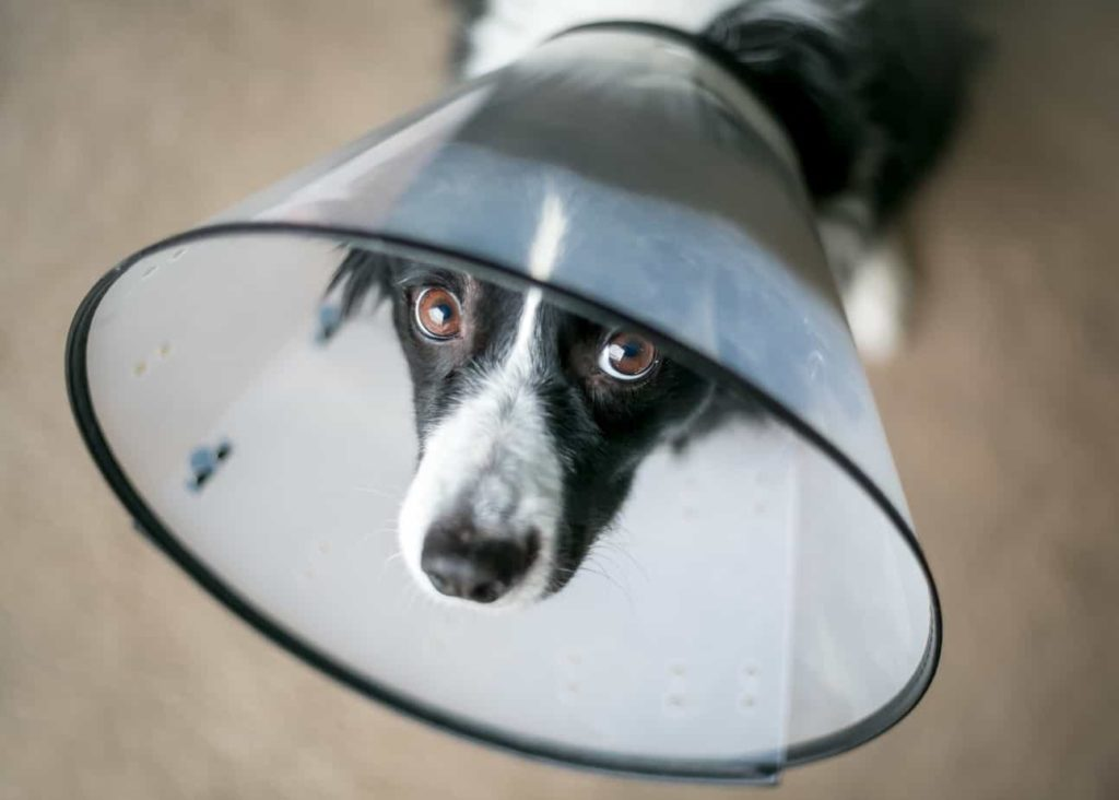Sad border collie wears an Elizabethan or e-collar. To avoid using an e-collar, use alternative methods to stop dog licking wound like a onesie, bitter apple, bandages, or barriers.